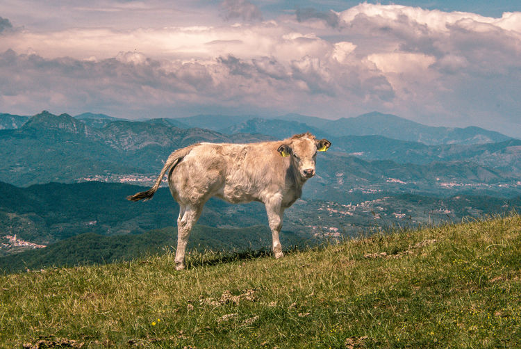 Animal Themes Beautiful Nature Beauty In Nature Bluebaron Calf Cow Domestic Animals Eye4photography  EyeEm Best Shots EyeEm Gallery EyeEm Nature Lover Field Landscape Mammal Nature Outdoors Picoftheday Scenics Sky Standing Thebluebaron Fine Art Photography TakeoverContrast