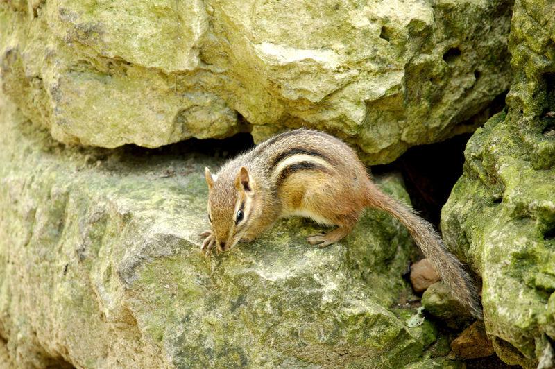 Chipmunk Animal