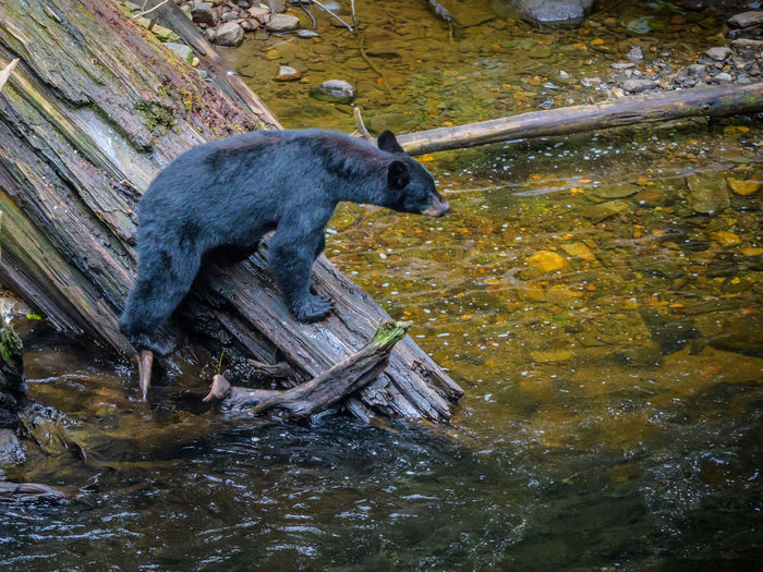 Alaska Black