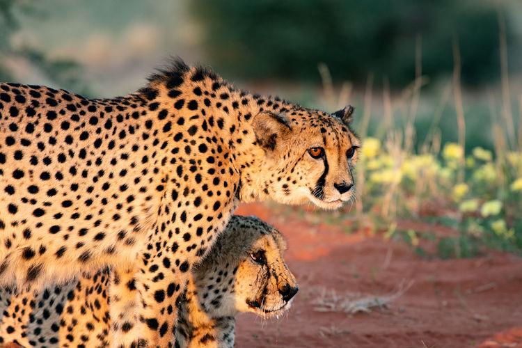 Close-up of cheetahs looking away