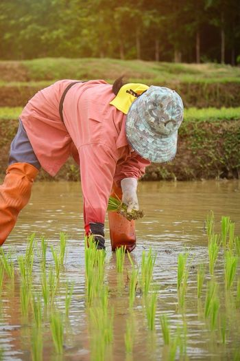 ดำนา ปลูกข้าว Agriculture Farmer Working Occupation One Person Water Farm Worker Rice - Cereal Plant Rice Paddy Men People Nature Outdoors Only Men Manual Worker