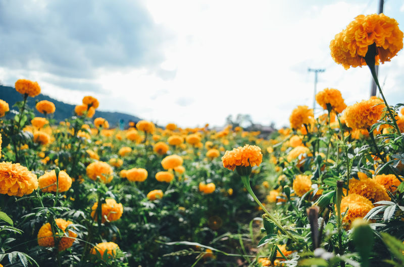 Growth Beauty In Nature Plant Flower Flowering Plant Vulnerability  Fragility Freshness Nature Sky Close-up Orange Color Flower Head No People Inflorescence Day Land Petal Yellow Selective Focus Outdoors