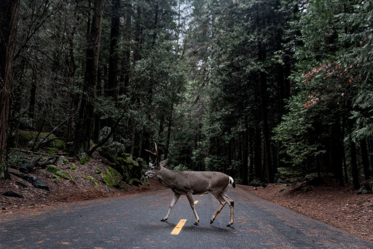 Deer National Park Yosemite National Park Animal Themes Animals In The Wild Day Domestic Animals Forest Full Length Mammal Nature Nature_collection No People One Animal Outdoors Road Standing Tree EyeEmNewHere