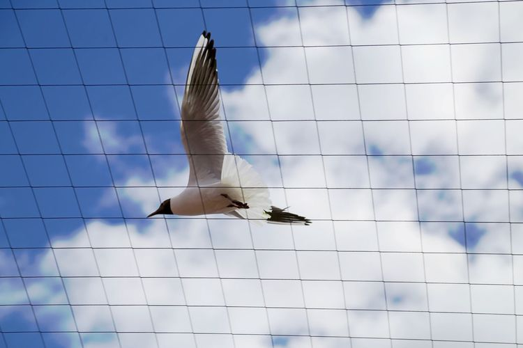 Low angle view of black-headed gulls flying against sky seen through net