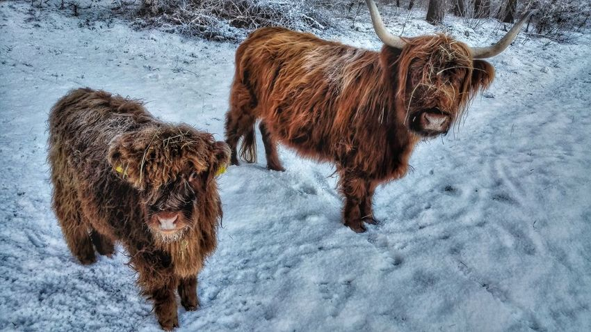 Todays 🐮 Scottish Highlands Wintertime Out For A Walk How's The Weather Today? Snow Covered Wintertime ⛄ Nature Photography EyeEm Best Shots Nature_collection Nature On Your Doorstep EyeEm Best Shots - Nature Eye Em Nature Lover Enjoying The View EyeEm Best Edits