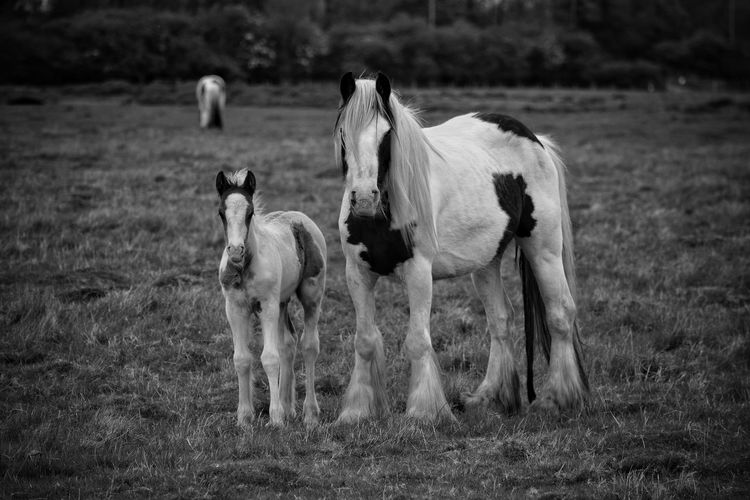 Mammal Animal Themes Field Animals In The Wild Nature Domestic Animals Outdoors Grass No People Landscape Young Animal Day Livestock Black And White Equine Photography New Born Pony Togetherness Mare And Foal Nature Photography Horse Photography  Monochrome Horse Photography  Full LengthBeauty In Nature