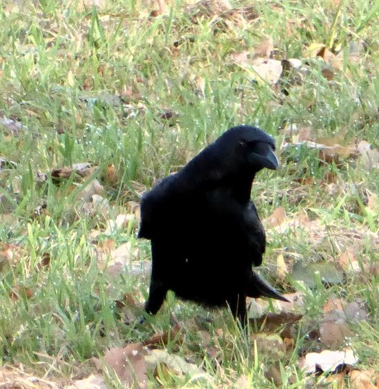 Hi!❤ For My Friends 😍😘🎁 On My Way To Work Love Crows😍 Animal Themes Animals In The Wild Raven - Bird Enjoying Life Celebrate The Little Things Sunny Days ✌️❤️ Enjoying The Moment Beauty In November Beauty In My Every Day Life Love My Home Town Bicycle Trip