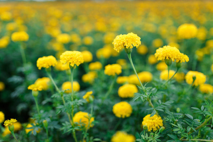 Flower Yellow Plant Nature Growth Flower Head Petal Blossom Beauty In Nature Botany Summer Field Flowerbed Sunflower Fragility Outdoors Marigold Uncultivated Horticulture Freshness