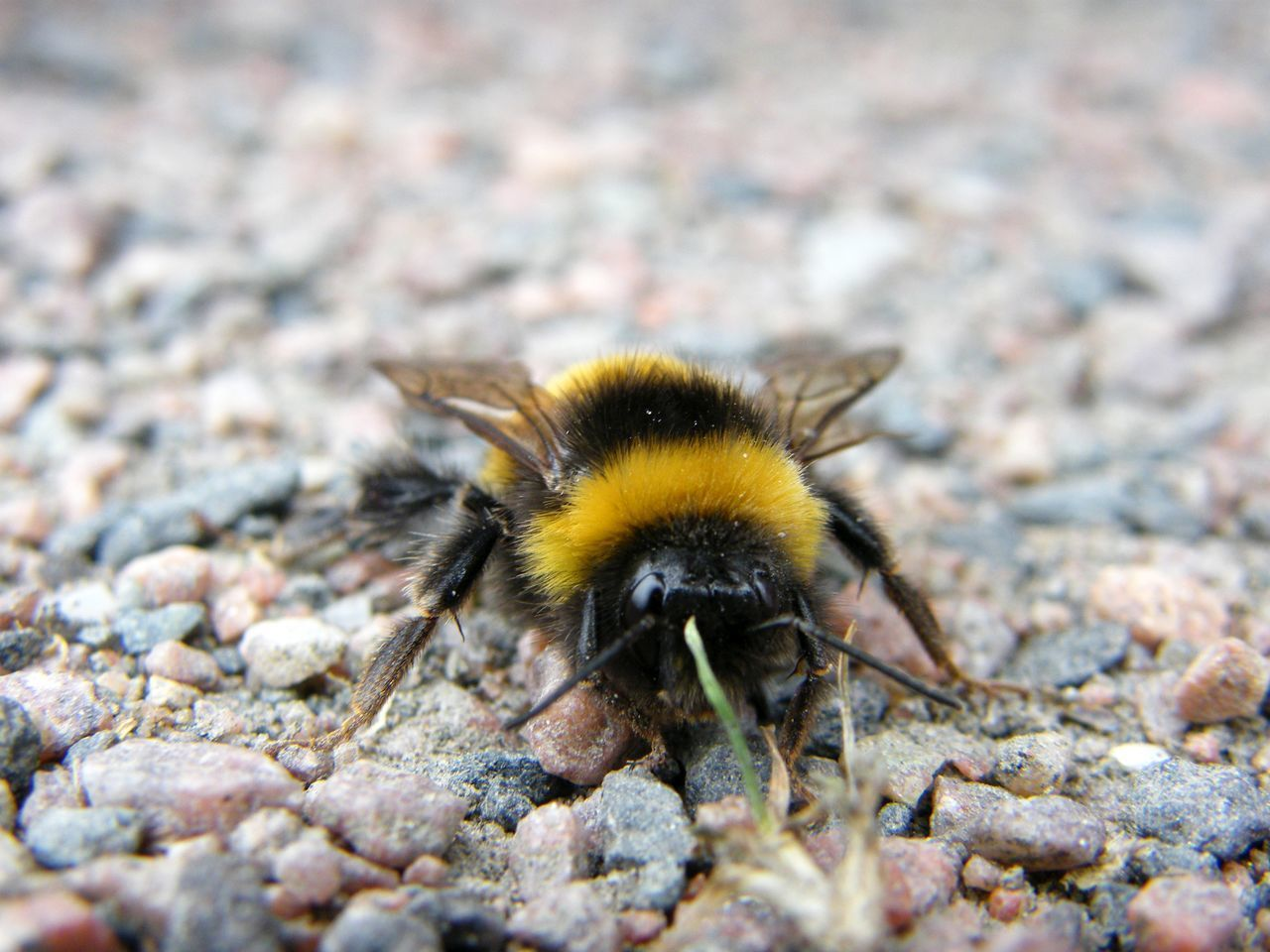 CLOSE-UP OF BEE ON A ROCK