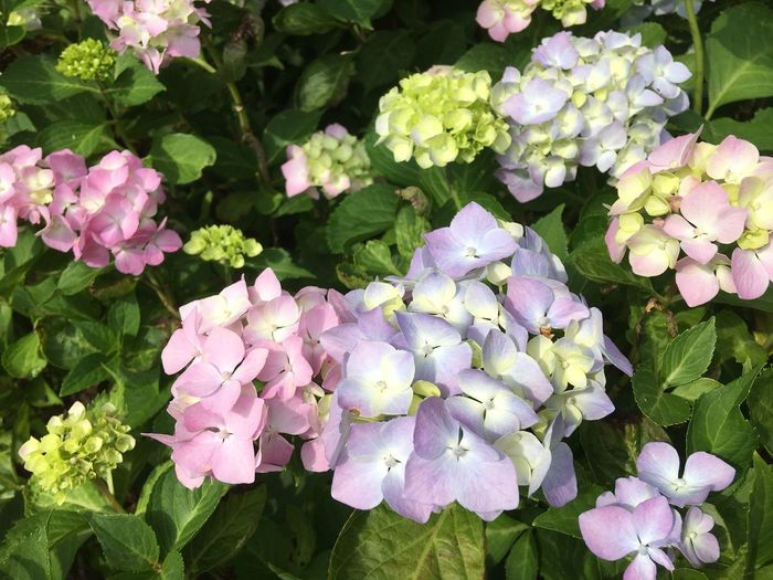 Hortensien 2017 Hortensien Flower Beauty In Nature Growth Petal Nature Plant Fragility Freshness Leaf Flower Head Pink Color No People Outdoors Day Green Color Hydrangea Blooming Springtime Close-up Low Angle View Nature Plant Beauty In Nature