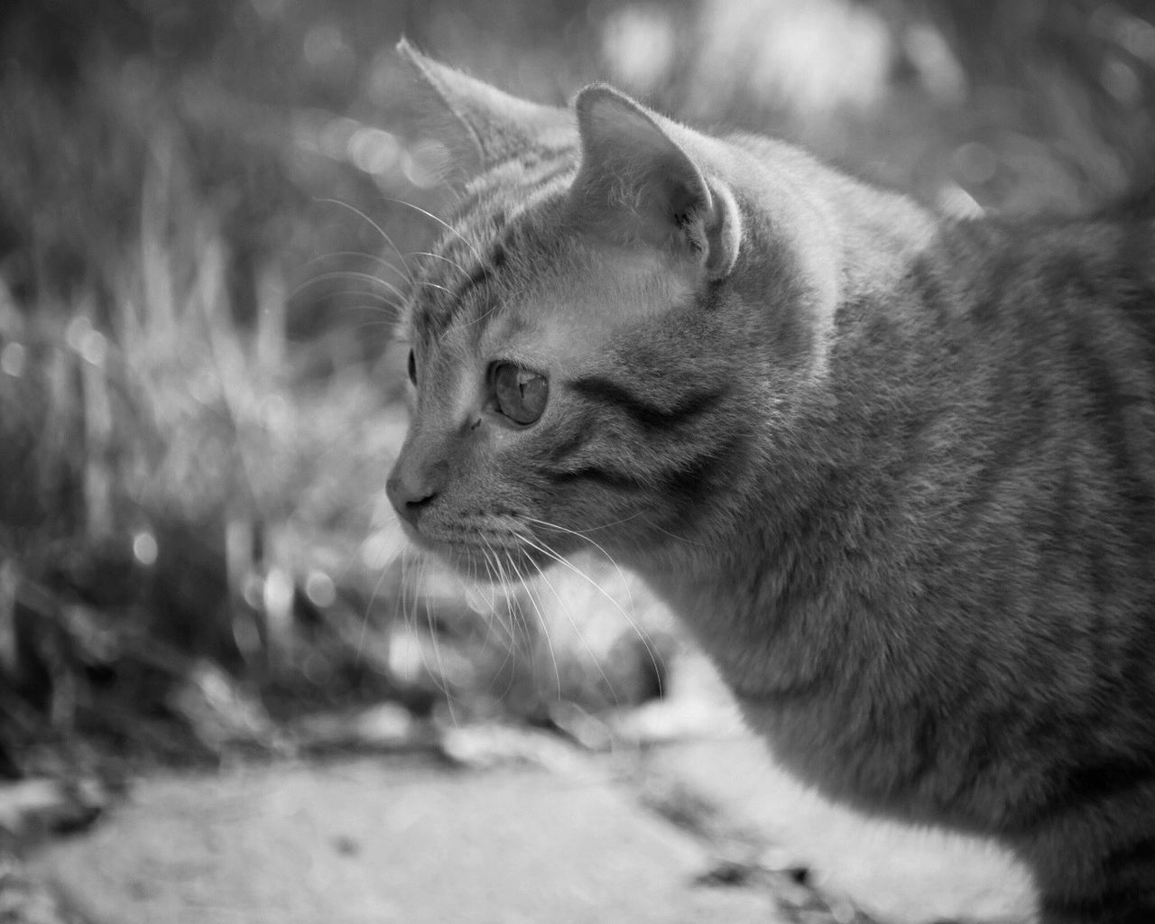 domestic cat, one animal, animal themes, mammal, pets, feline, focus on foreground, domestic animals, whisker, close-up, no people, day, outdoors, nature