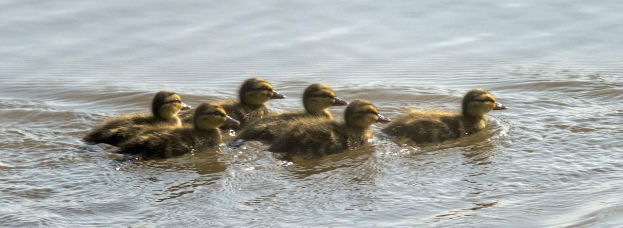 Ducklings Bird