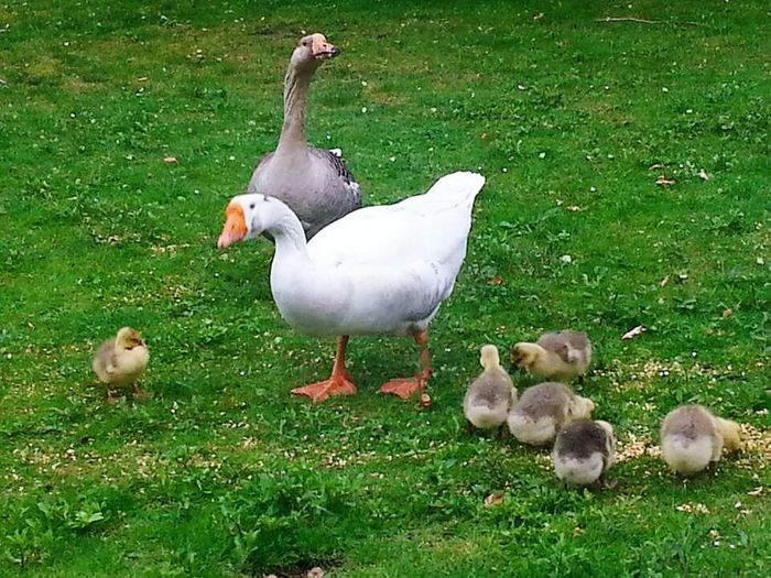 Bird Grass Goose Young Bird Animal Wildlife High Angle View Animal Themes Young Animal Duck Nature Outdoors Animals In The Wild Green Color Togetherness Day Duckling No People Domestic Animals Water Swan