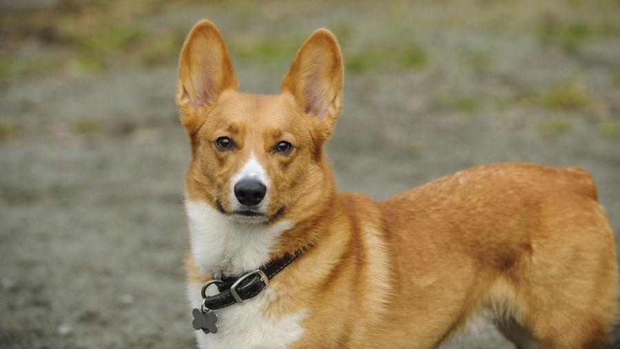 Portrait of pembroke welsh corgi standing on field