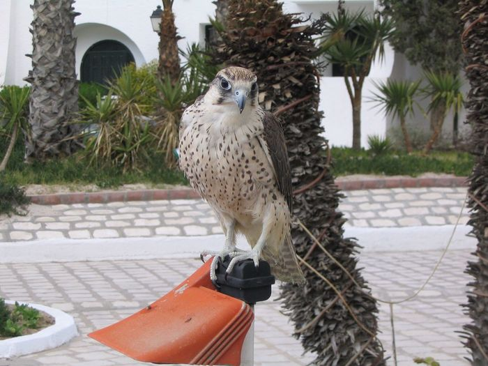 One beautiful falcon. Tunisia Photos Port El Kantaoui Animal Themes Bird Falcon Animal Love