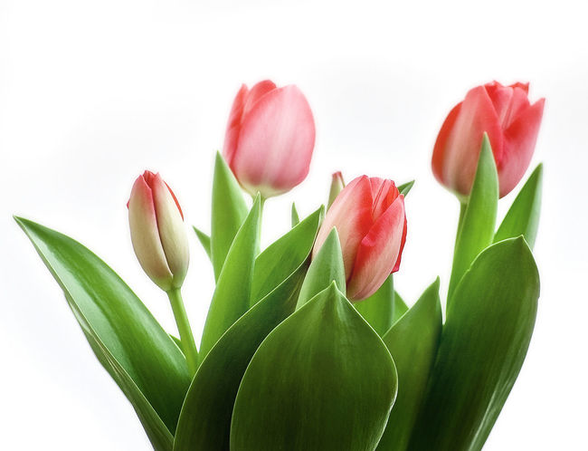 five tulips with white background Botanic Close Up Flowers No People Overlighting Studio Shot Tulips🌷