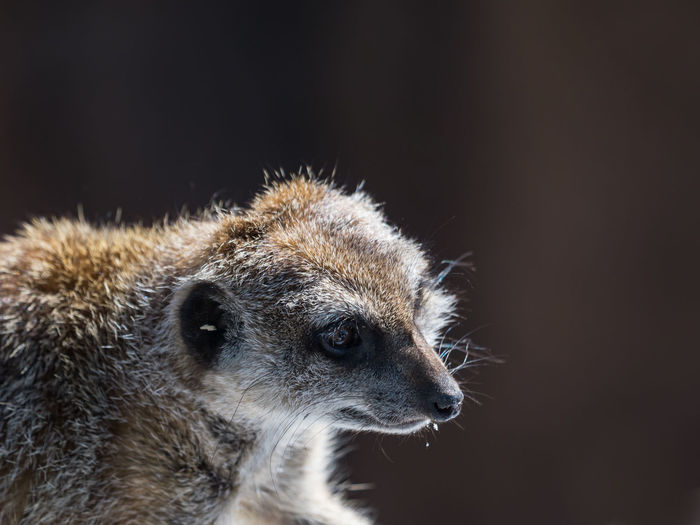 Close-up of meerkat