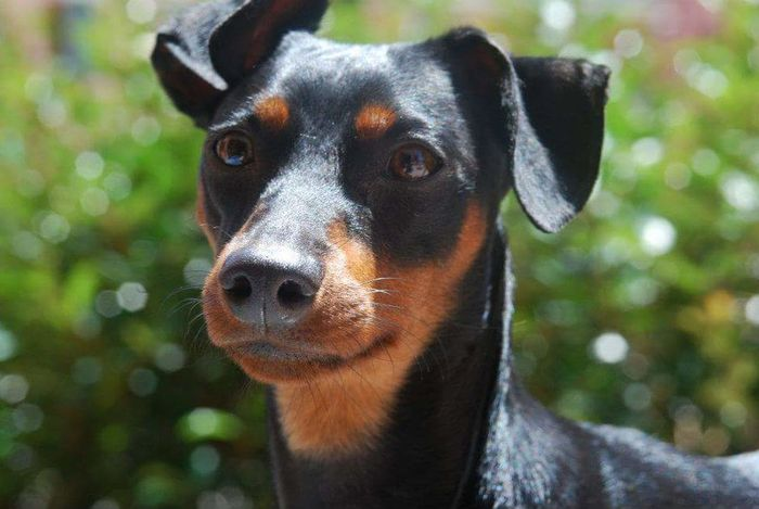 Dog Pets Animal Body Part One Animal Domestic Animals Animal Themes Animal Head  Zwergpinscher Lovedog Looking At Camera Portrait Black Color No People Day Outdoors Mammal Close-up