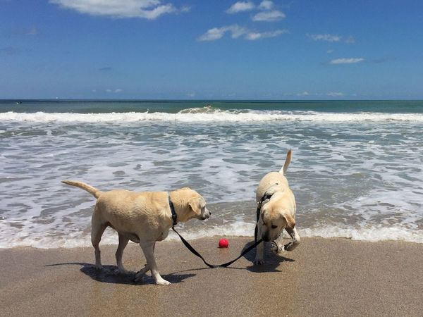 What's more fun than a ball? Beach Dog Beach Dog :) Labrador Retriever LabradorRetriever Labrador Dog On The Beach The Essence Of Summer
