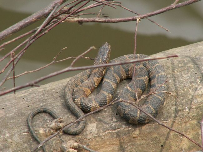 A water snake warms up on a log beside the creek on a sunny day. Creek Low Angle View Snake Tree Animal Themes Animal Wildlife Animals In The Wild Close-up Day Diamond Pattern Nature No People One Animal Outdoors Reptile River Sunning Water Snake