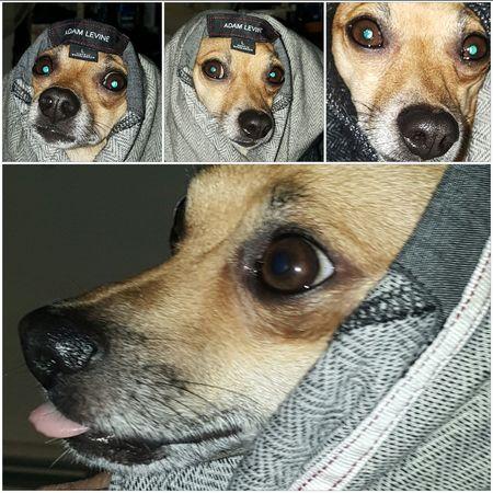 Taking Photos Pet Photography  Chihuahua Mydogisthebestintheworld Dogofeyeem Dog Domestic Animal Collage Pet Photography  Ilovemydog Pets Corner Dog Photography Dogslife Doggy My Pet Close-up Peanut No People Mydogiscoolerthanyourkids Dog❤