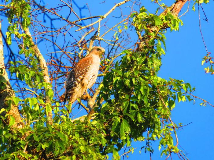 Hawk in nature (April 30th) Florida Hawks Hawks Of Eyeem Hawk Hawk - Bird Bird Of Prey Bird Tree Perching Branch Blue Sky