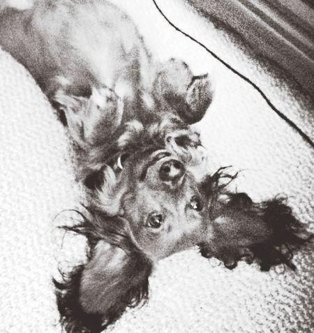 Dog Jacques Frenchdog Frenchie Dachshund Weenie