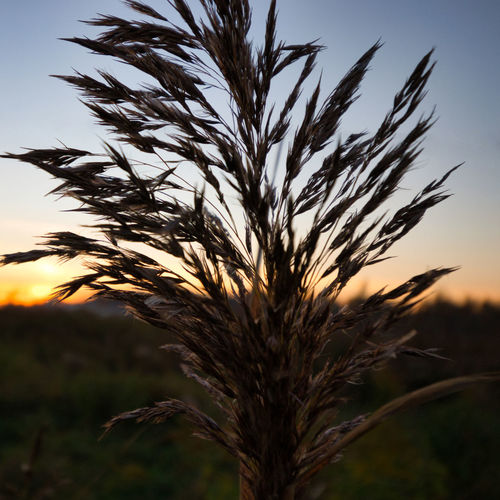 Close-up of stalks in field against sky at sunset