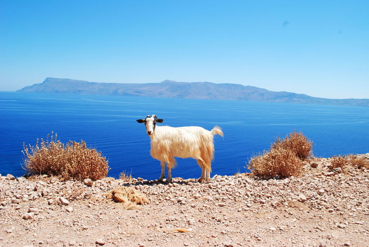 scene from Crete mountains EyeEmNewHere Water Mountain Sea Blue Taurus Clear Sky Portrait Sky Animal Themes Goat