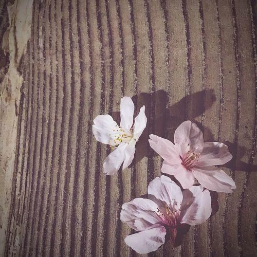 Taking Photos Holiday Flowers Good Times Good Night 夜桜。散ってしまった桜もかわいい。
