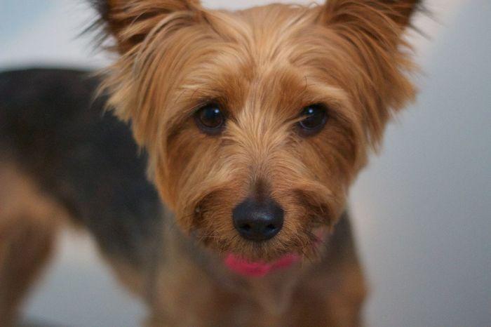 Animals Dogs Pet Portrait Yorkie