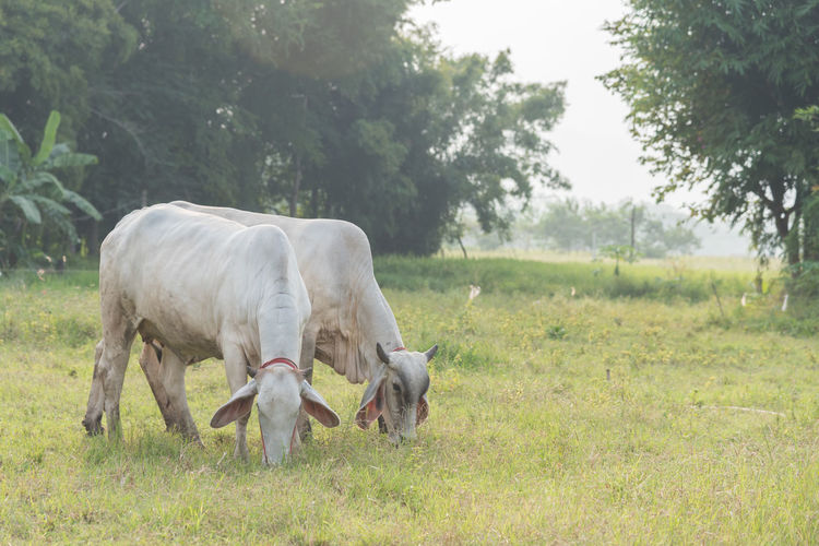White Bull American Agriculture Animal Animal Family Animal Themes Day Domestic Domestic Animals Field Grass Grazing Group Of Animals Herbivorous Land Landscape Livestock Mammal Nature No People Outdoors Pets Plant Tree Vertebrate