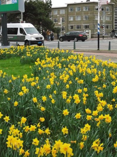 Narcissus Flowers Flower Yellow Taxi Oilseed Rape Close-up Building Exterior In Bloom Plant Life Cosmos Flower Flower Head Flowerbed Blooming Botany