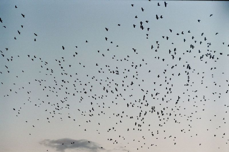 Low angle view of birds flying in sky at sunset
