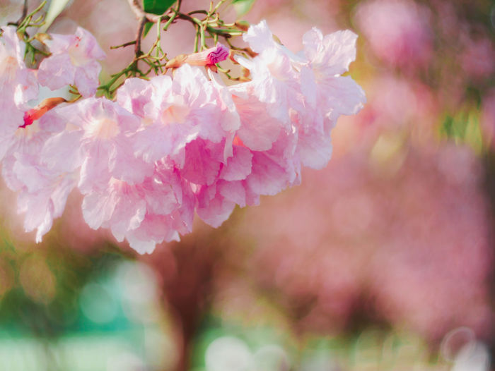Flower Flowering Plant Fragility Plant Vulnerability  Freshness Beauty In Nature Pink Color Close-up Petal Growth Nature No People Day Flower Head Inflorescence Selective Focus Outdoors Blossom Focus On Foreground Springtime Cherry Blossom Cherry Tree Tabebuia Rosea Pink Trumpet Tree