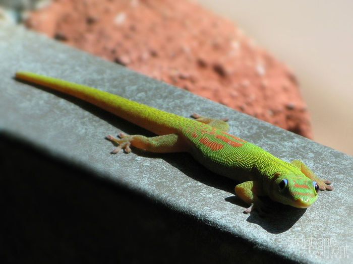Gecko to Mayotte Animal Themes Animal Wildlife Animals In The Wild Close-up Day Gecko Lizard Mayotte Mayotte île French Nature No People One Animal Outdoors Reptile