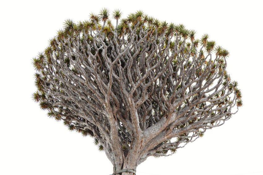 Drago🌴 Drago Icod De Los Vinos Canarias Canary Islands Canariasviva Tree Picoftheday EyeEm Best Shots EyeEmNewHere Eye4photography  Zowieyzen EyeEm Selects White Background Tree Close-up Sky Dissolving Plant Life Wilted Plant Colliding