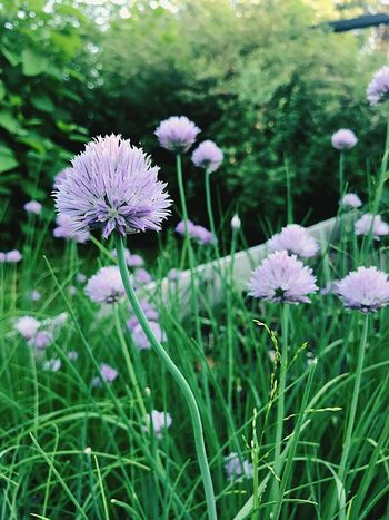 Garden Chives Plant Flower Flowering Plant Growth Freshness Beauty In Nature Vulnerability  Flower Head Green Color No People Focus On Foreground
