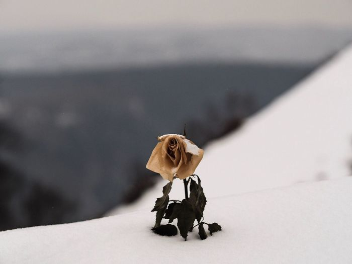 Close-up of wilted rose in deep snow