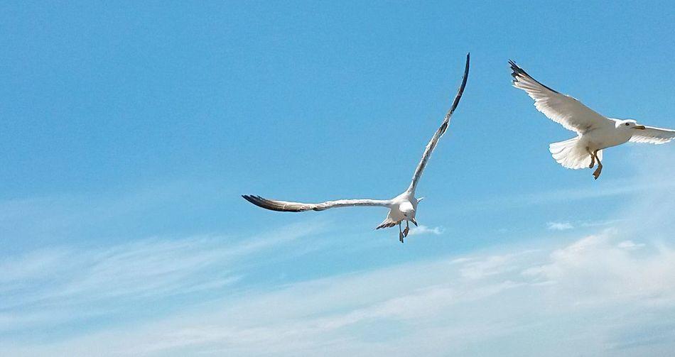 Flying High Flying Birds Seagulls In Flight Skyandclouds  Gulls In Flight Gabbiani Freedom Flying Seagull Freedom Flight Birds_collection Birdwatching Bird Photography Seagull And Sky Gaviotas  Pajaros Volando