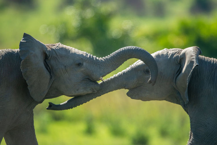 Close-up of two young elephants play fighting