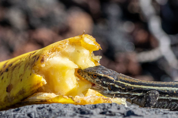 La palma wall lizards eating discarded banana. male lizard has light blue coloring under neck