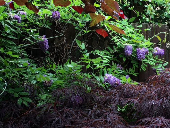 Growth Purple Plant Nature Outdoors Beauty In Nature No People Blooming Green Color Wisteria Japanese Maple Forest Pansy Redbud Redbud South Orange, NJ
