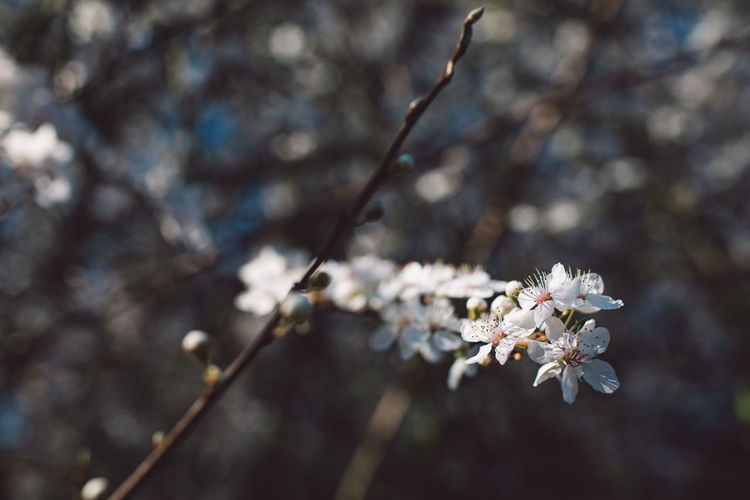 Flowering Plant Fragility Flower Plant Growth Freshness Vulnerability  Tree Beauty In Nature Blossom Branch Springtime Nature Close-up Cherry Blossom Day No People Focus On Foreground Twig White Color Flower Head Outdoors Cherry Tree Pollen Plum Blossom