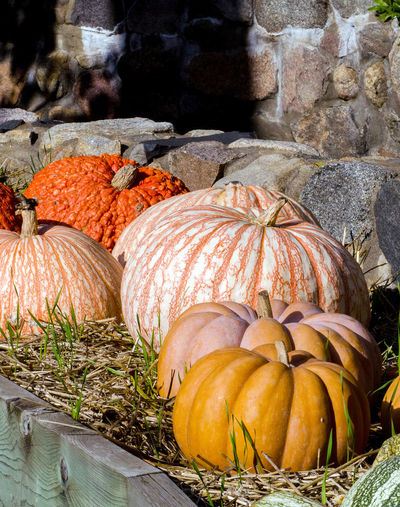 piles of pumpkins are piled along a rustic stone wall at a pumpkin patch in the usa Autumn Fall Beauty Fall Colors Halloween Michigan Pumpkins Thanksgiving USA Vegetables & Fruits Close-up Decorations Decorative Food Food And Drink Gourds Nature No People Orange Color Outdoors Pumpkin Seasonal Stone Wall Vegetable