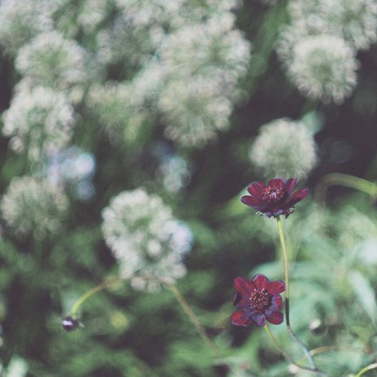 Fall is officially here! Fall Autumn Chocolate Cosmos Flowers 花 コスモス 秋 秋桜 EyeEm Nature Lover
