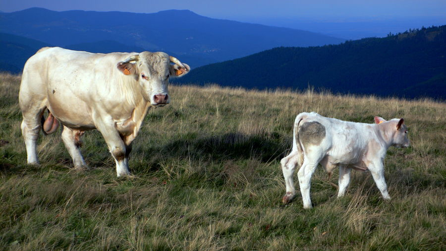 Bull And Calf On Grassy Field Against Mountains