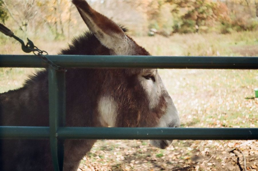 Mammoth donkey taken with a Minolta A5 Film Scanned One Animal Domestic Animals Animal Themes Mammal Animal Head  Livestock No People Close-up Day Outdoors Vintage Photo Shoot Minolta A5 Vintage Camera In Action