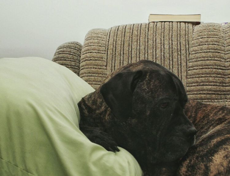 Reading a book Dog Reading Books Dogs Animals Pets smart dog Cane Corso Smart Smart Dog education Education Home Dog Thinking What Have I Read EyeEm Best Shots