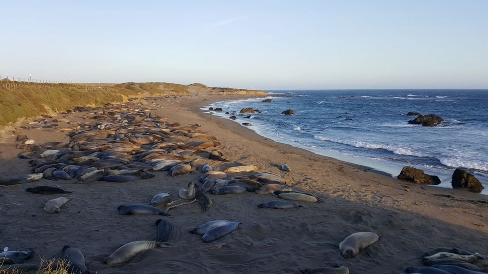 EyeEm Selects Sea Life Seals Elephant Seals Large Group Of Animals Animal Themes Beach Sunset Outdoors Sea Pacific Coast Pacific Coast Highway Horizon Over Water Day Sky Colony Nature Wave Clear Sky Sand Water Beauty In Nature Cambria California